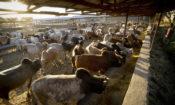 USAID livestock